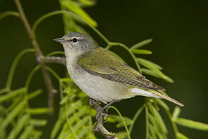 Tennessee Warbler (Oreothlypis peregrina) male  -  Tom Vezo
