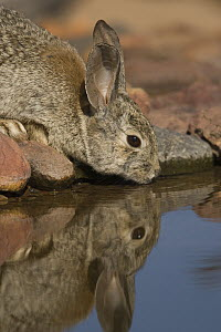 Desert Cottontail (Sylvilagus audubonii) drinking, Santa Rita Mountains, Arizona - Tom Vezo