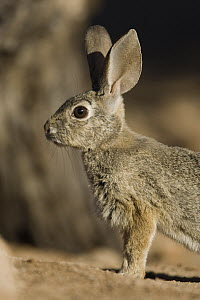 Desert Cottontail (Sylvilagus audubonii) portrait, Santa Rita Mountains, Arizona - Tom Vezo