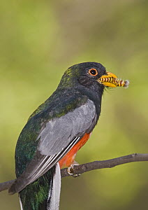 Elegant Trogon (Trogon elegans) male with caterpillar in it's beak, Santa Rita Mountains, Arizona  -  Tom Vezo