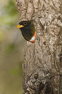 Elegant Trogon (Trogon elegans) male looking out of nest cavity, Santa Rita Mountains, Arizona  -  Tom Vezo