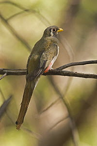 Elegant Trogon (Trogon elegans) female, Santa Rita Mountains, Arizona  -  Tom Vezo