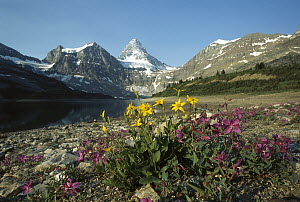 Dwarf Fireweed (Epilobium latifolium) and Arnica (Arnica sp) growing in Rocky Mountains, North America - Sumio Harada
