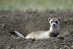 Black-footed Ferret (Mustela nigripes) emerging from burrow in ground, recently released from captive breeding program onto the Fort Belknap Indian Reservation, Montana  -  Sumio Harada