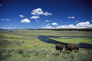 American Bison (Bison bison) free roaming wild herd along river, Yellowstone National Park, North America  -  Sumio Harada