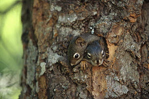 Red Squirrel (Tamiasciurus hudsonicus) curious 40 day old babies peer out from nest in tree trunk, Rocky Mountains, North America  -  Sumio Harada
