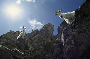 Mountain Goat (Oreamnos americanus) looking down from rocky, steep mountain slope, Rocky Mountains, North America - Sumio Harada