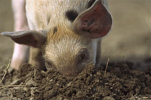 Domestic Pig (Sus scrofa domesticus) black-spotted piglet digging in the ground with its nose, northern Germany  -  Heidi & Hans-Juergen Koch