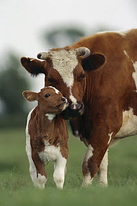 Domestic Cattle (Bos taurus) mother and calf nuzzling, Germany  -  Heidi & Hans-Juergen Koch