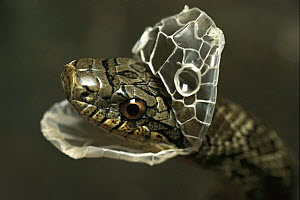 Dione Rat Snake (Elaphe dione) beginning to shed its skin, native to Europe and Asia  -  Heidi & Hans-Juergen Koch