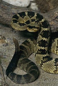 Black-tailed Rattlesnake (Crotalus molossus) coiled in defensive posture, native to the southwestern United States - Heidi & Hans-Juergen Koch