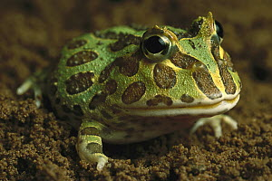Cranwell's Horned Frog (Ceratophrys cranwelli) has a large mouth and voracious appetite, native to South America - Heidi & Hans-Juergen Koch