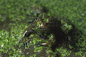 Giant Fire-bellied Toad (Bombina maxima) covered in duckweed, native to China  -  Heidi & Hans-Juergen Koch