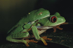 Red-eyed Tree Frog (Agalychnis callidryas) male with nictitating membrane over eyes, clings onto female in amplexus, stimulating her to lay eggs, native to the tropical rainforests of Central America - Heidi & Hans-Juergen Koch