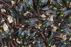 Greenbottle Fly (Lucilia caesar) mass of newly hatched flies on cocoons, worldwide distribution - Heidi & Hans-Juergen Koch