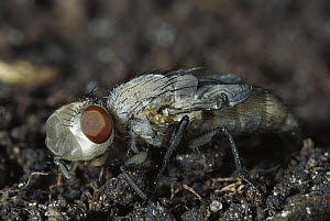 Blue Bottle Fly (Calliphora erythrocephala) newly hatched, still has forehead bubble and body is light and soft, worldwide distribution  -  Heidi & Hans-Juergen Koch