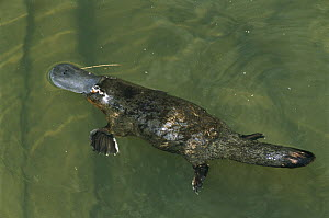 Platypus (Ornithorhynchus anatinus) female swimming in water with courtship bite mark on tail, eastern Australia - D. Parer & E. Parer-Cook