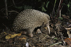 Long-beaked Echidna (Zaglossus bruijni) highland forests of New Guinea - D. Parer & E. Parer-Cook