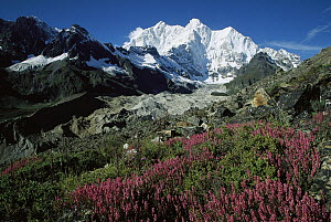 Wildflowers growing on moraine terrace beside Kangshung Glacier, with Mt Chomolonzo in background, east of Mt Everest, Tibet  -  Colin Monteath