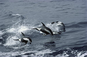 Hourglass Dolphin (Lagenorhynchus cruciger) pod leaping out of the south Indian Ocean near Antarctica  -  Paul Ensor