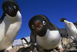 Adelie Penguin (Pygoscelis adeliae) gives a warning call when under threat, Cape Bird, Ross Island, Antarctica  -  Gordon Court