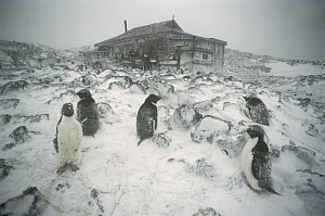 Adelie Penguin (Pygoscelis adeliae) rookery in blizzard outside Shackleton's 1908 hut at Cape Royds, Ross Island, Antarctica  -  Colin Monteath