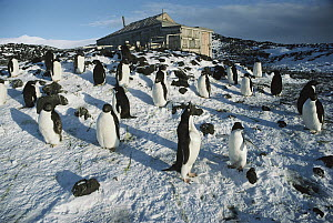 Adelie Penguin (Pygoscelis adeliae) rookery outside Shackleton's 1908 hut at Cape Royds, Ross Island, Antarctica  -  Colin Monteath