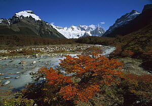 Lenga Beech (Nothofagus pumilio) in fall colors and Cerro Torre, at 10,280 feet elevation, Los Glaciares National Park, Patagonia, Argentina  -  Colin Monteath