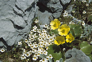 Eyebright (Euphrasia sp) and Buttercup (Ranunculus sp), Kahurangi National Park, New Zealand  -  Colin Monteath
