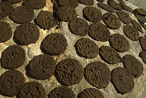 Yak (Bos grunniens mutus) dung drying on rock, used for cooking fuel, Karsha, Kingdom of Zanskar, northwest India, Himalaya - Colin Monteath