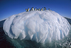 Adelie Penguin (Pygoscelis adeliae) group riding sculpted iceberg, Terre Adelie Land, east Antarctica  -  Colin Monteath