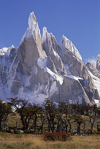 Antarctic Beech (Nothofagus moorei) trees in autumn with Cerro Torre towers behind, Los Glaciares National Park, Patagonia, Argentina  -  Colin Monteath