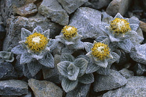 Aster (Haastia sinclairii) growing amid rocks on a scree slope, Arthurs Pass National Park, New Zealand  -  Nick Groves