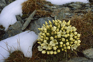 Gentian (Gentiana sp) cluster below Mount Armstrong in early March, New Zealand  -  Nick Groves