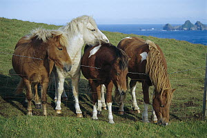 Domestic Horse (Equus caballus) four ponies standing at barbed wire fence, Westman Islands, Iceland  -  Ingrid Visser