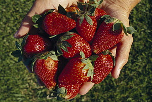 Strawberry (Fragaria x ananassa) collection in hands, cultivated worldwide  -  Ingrid Visser