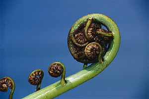 Tree Fern fiddlehead unfurling, New Zealand  -  Ingrid Visser