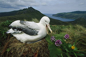 Southern Royal Albatross (Diomedea epomophora) on nest, Campbell Island, New Zealand  -  Ingrid Visser