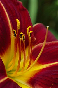 Flower (Hippeatrum sp) close up showing pistil and stamens, New Zealand  -  Andy Reisinger