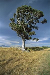 Eucalyptus Tree in the wind, near Waiau, Canterbury, New Zealand  -  Andy Reisinger