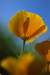 California Poppy (Eschscholzia californica), New Zealand  -  Andy Reisinger