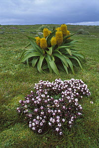 Ross Lily (Bulbinella rossii) and Gentian (Gentiana cerina) group, Enderby Island, New Zealand  -  Andy Reisinger