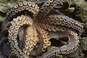 Octopus tentacles showing suckers, New Zealand  -  Andy Reisinger