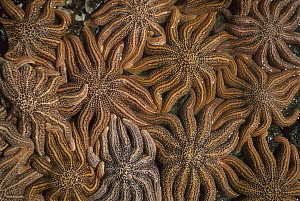 Eleven-armed Sea Star (Coscinasterias calamaria) mass at low tide, Paparoa National Park, New Zealand  -  Andy Reisinger