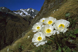Great Mountain Buttercup (Ranunculus lyallii) on flanks of Mount Rolleston, Arthur's Pass National Park, New Zealand  -  Andy Reisinger