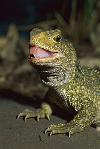 Tuatara (Sphenodon punctatus) portrait, New Zealand  -  Andy Reisinger