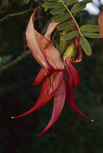 Kaka Beak (Clianthus puniceus) flower, New Zealand  -  Andy Reisinger