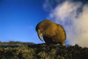 Kea (Nestor notabilis) portrait, New Zealand  -  Andy Reisinger