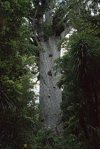 Kauri (Agathis australis) tree named 'Tane Mahuta' or Lord of the Forest, largest living Kauri tree in New Zealand, Waipoua Forest, North Island, New Zealand  -  Andy Reisinger