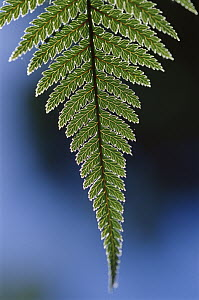 Fern frond, New Zealand  -  Ingrid Visser